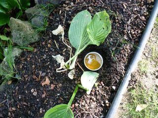 Hostas and slugs 011