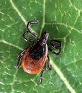 Blackfooted tick